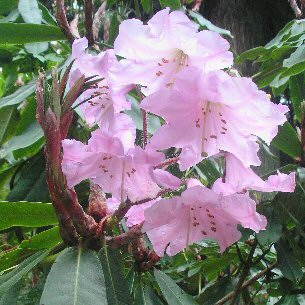 rhododendron maoerense