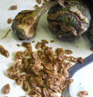 sciadopitys seed & cone