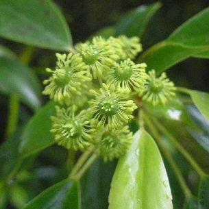 trochodendron flower
