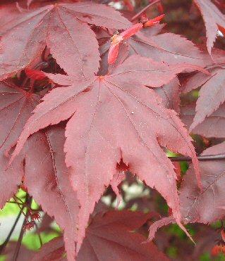 Acer palmatum red