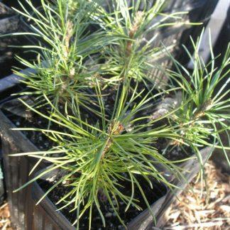 Pinus sibirica seedlings