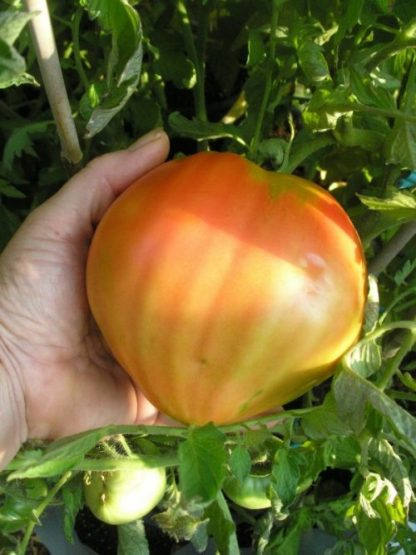 Kosovo tomato