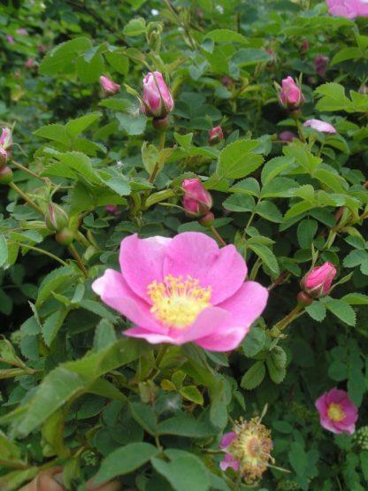 Rosa nutkana bloom