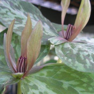 Trillium freemanii