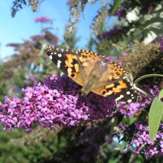Buddleja davidii with butterfly