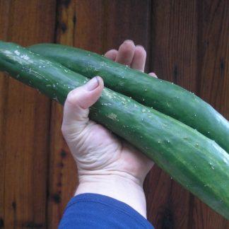 Cucumber Natsu Fushinari
