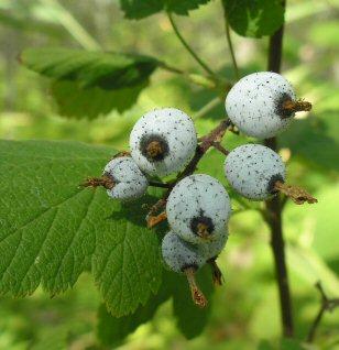 Ribes sanguineum fruit