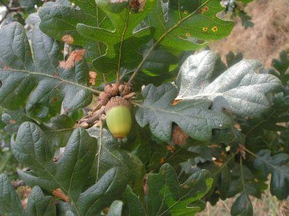 Quercus garryana foliage and acorn