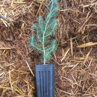 Pinus pinea bareroot