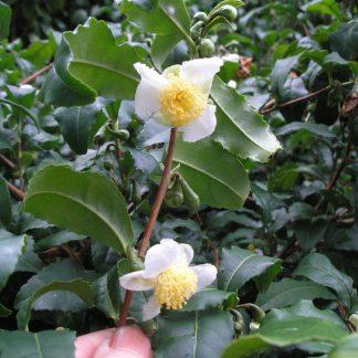 camellia sinensis flowering stalk
