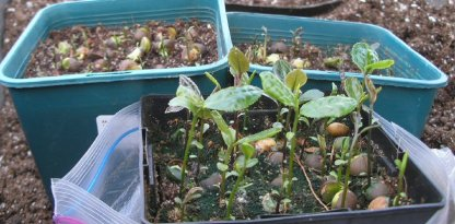 Camellia sinensis germinating seedlings