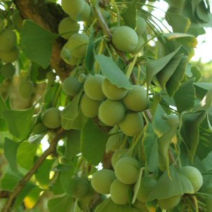 Ginkgo biloba with fruits