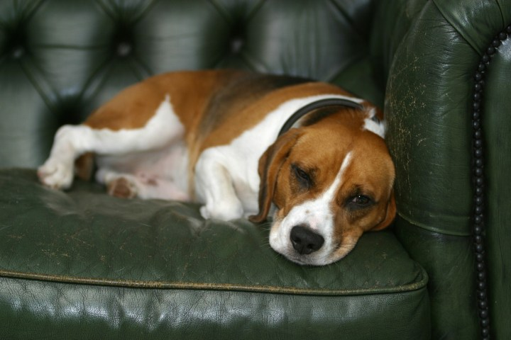 dog on a sofa