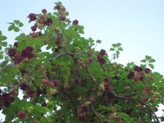 Akebia Chocolate vine
