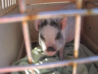 New pig Kiko