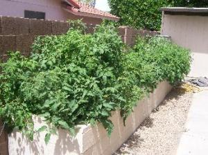 Early May - sea of tomato plants