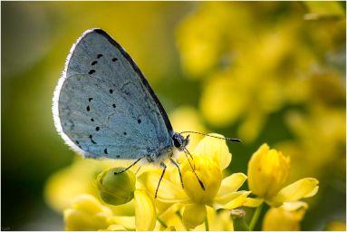 Het boomblauwtje (Celastrina argiolus)