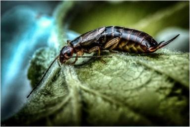 Oorworm