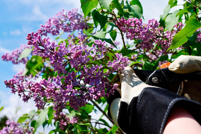 pruning - tree care services - shrub - hege