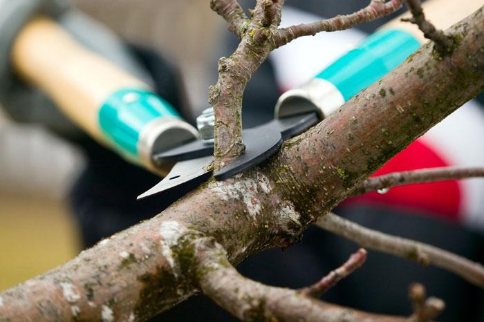 tree care - shrub - hedge - pruning