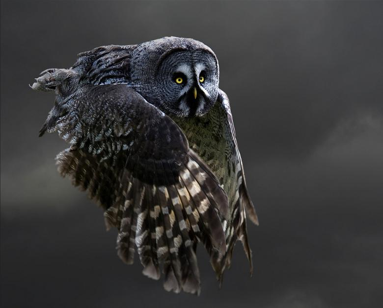 owl-flying