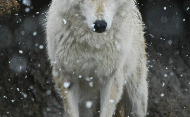 Picture Of The Day The Lone Wolf Twistedsifter