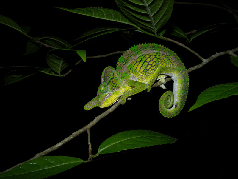 Inner Ear Diagram 10 Things You Didn T Know About Chameleons 171 Twistedsifter