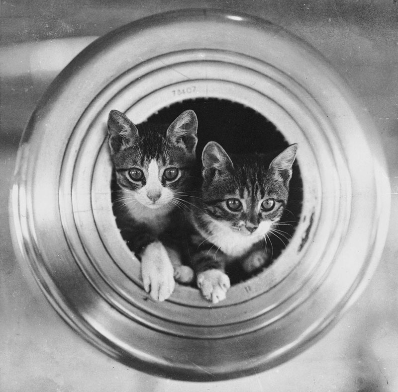 The-ship's-cats-HMS-Hawkins