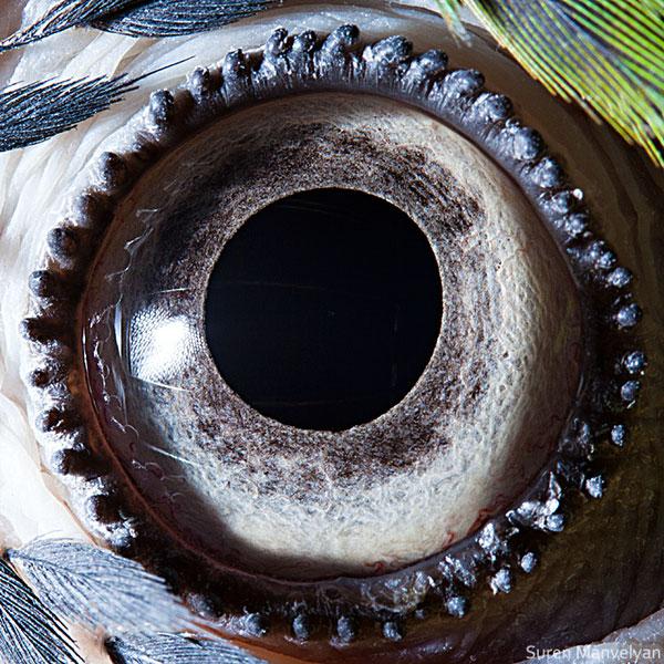 blue-yellow-macaw-parrot-close-up-of-eye-macro-suren-manvelyan