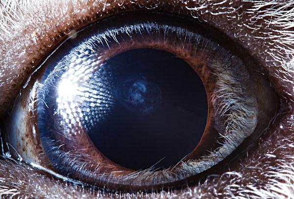 guinea-pig-close-up-of-eye-macro-suren-manvelyan