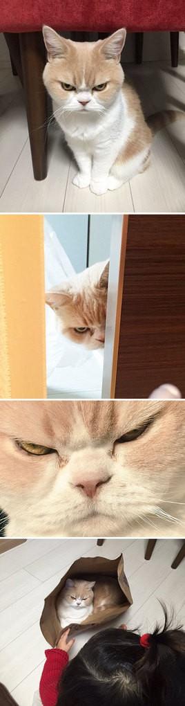 Japanese Grumpy Cat