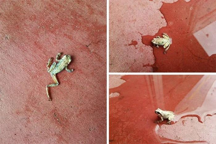 Эта Лягушка была найдена всем сухим и увядшим за пределами магазина по утрам. Менеджер магазина сказал: «Давайте попробуем разбрызгивать немного воды на нем», и «Святой Sh * t It Came Back To F * cking Life