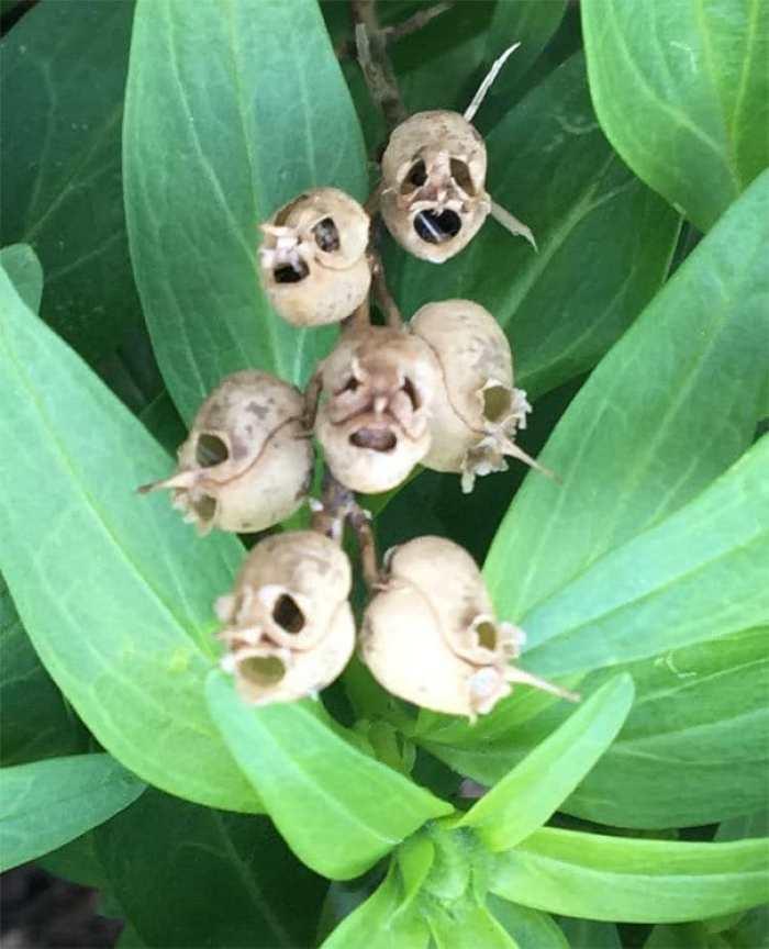 Хэски мертвых цветов в моем саду. Смотрите как черепа / чумные маски