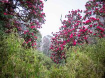 We had amazing luck to hit the rhododendron forest in full bloom. It was even more unbelievable in person.