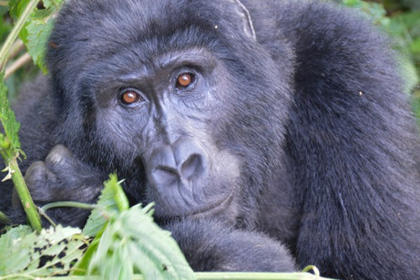 Gorillas in the Mist-y Impenetrable Forest