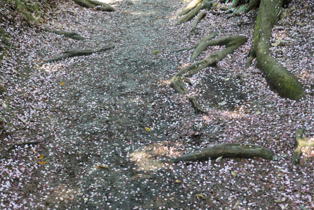 Trail mottled by cherry blossoms after a rain.