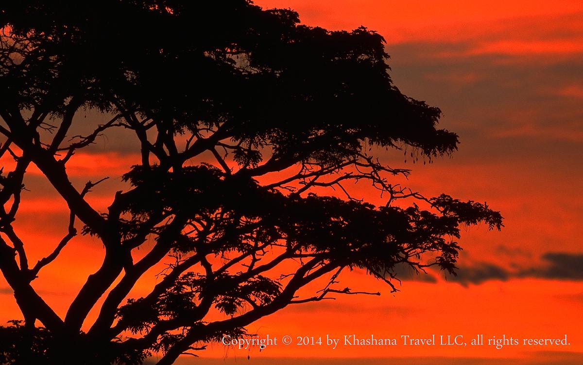 Mountain Seringa (Burkea africana), in Welgevonden Game Reserve