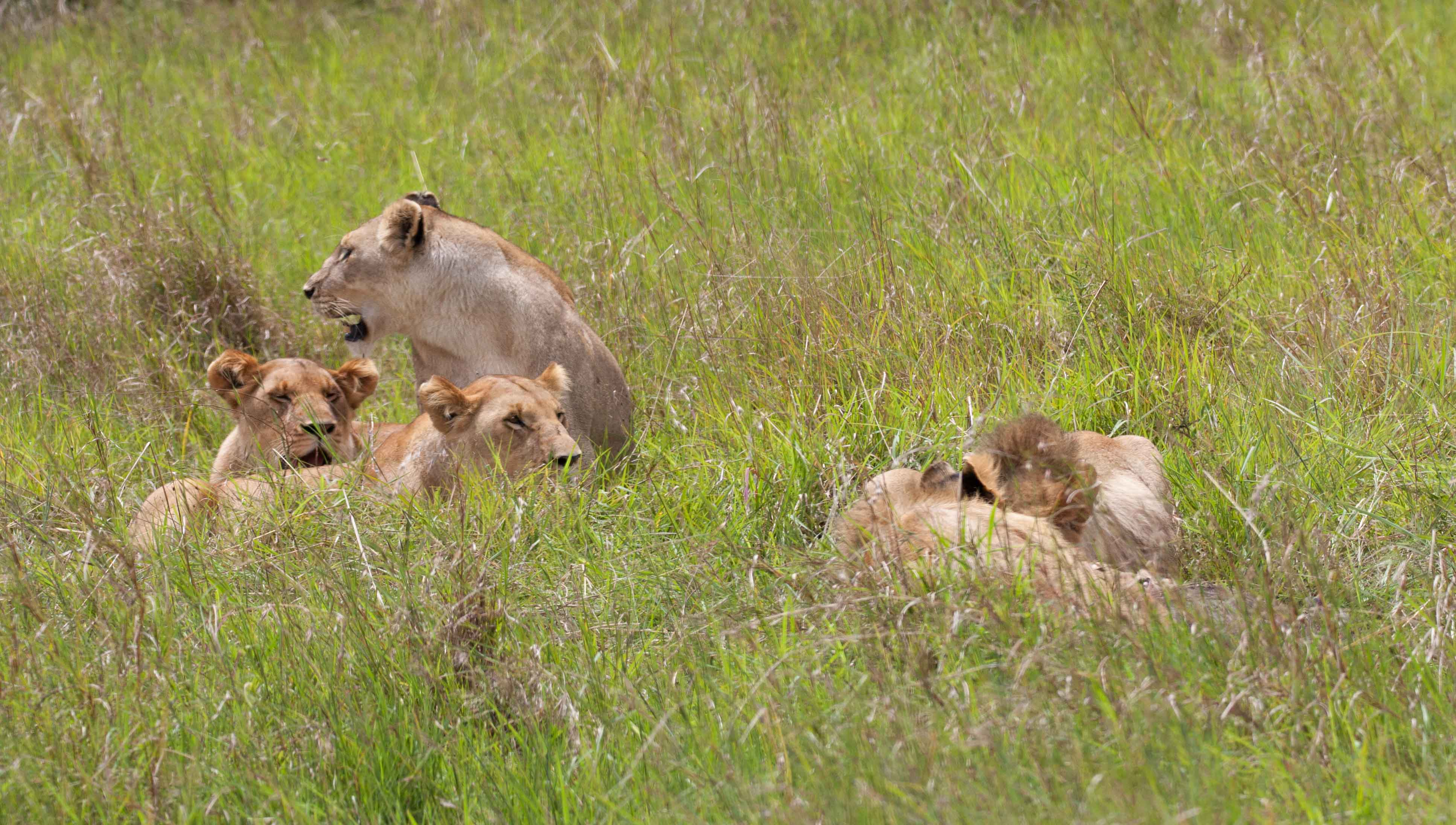 But catch him she does. Once the female lions catch the warthog, the male lions come in and finish him off.