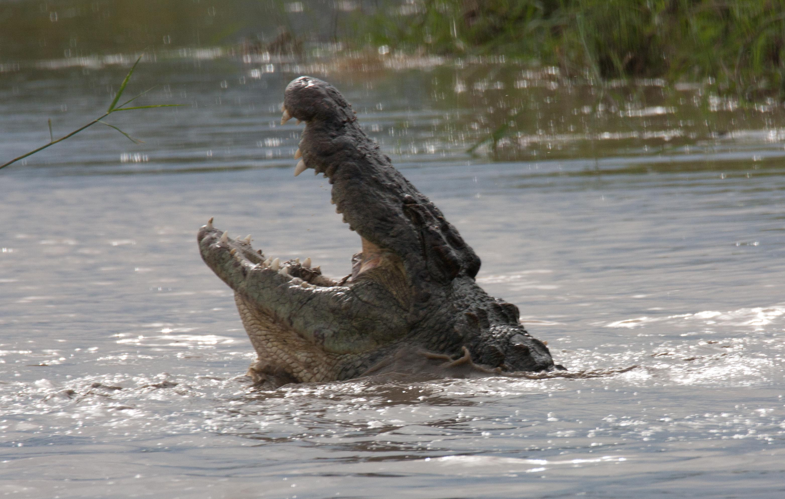 Crocs can't chew their food. Instead they bite off manageable bite and swallow them whole.