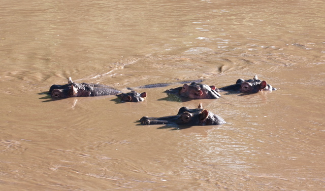 The Hippos often bunched in a group.