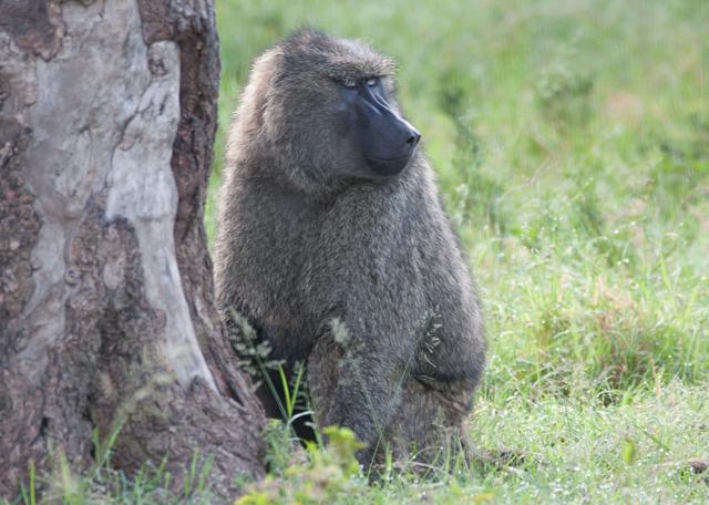 A large Savana Baboon.