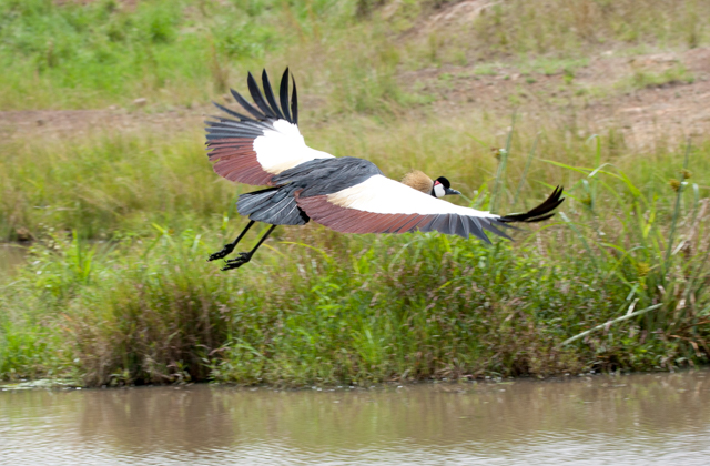 Grey Crowned Crane on the fly.