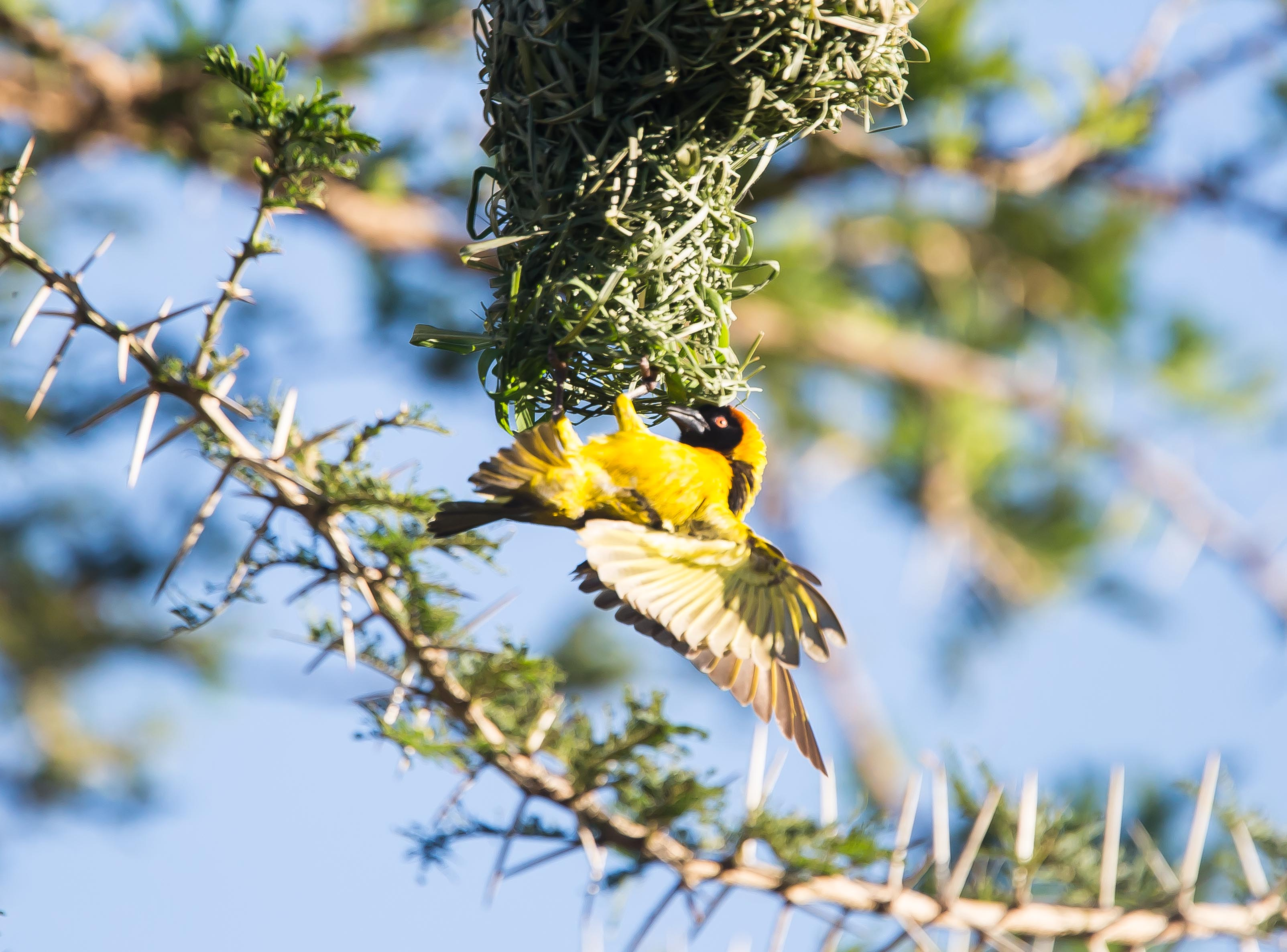 Masked Weaver (photo by Will Taylor).