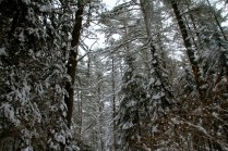 Snow-covered trees.
