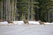 Deer, oh deer, oh deer