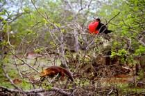More tree-climbing land iguanas