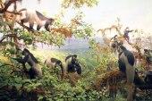 Colobus Monkeys!