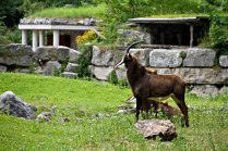 Antelope-type animal