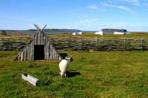 Norstead sheep