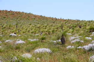 A field of Grass Trees